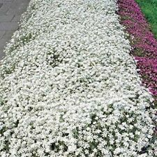 100+ Cerastium Perennial Flower Seeds / Snow in Summer / Deer Resistant
