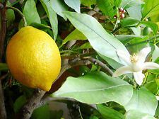 Dwarf Meyer Lemon Tree Seeds (8)  Fresh Seeds  Lemon Grow Your Own