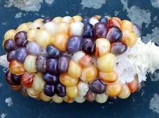 Corn Pine Comb - A Rare & Unique Corn that Resembles the Pine Comb!!!