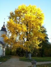 GINGKO BILOBA - UNCHANGED FOR 2 MILLION YEARS-8 non dormant SEEDS