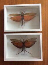 2 Tropidacris dux (Peru) im Holz-Schaukasten 23,3x16,5x4 cm hinter Glas