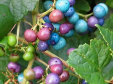 20 Organic Porcelain Berry Vine Seeds ~ Striking autumn fruit *Free US Shipping*