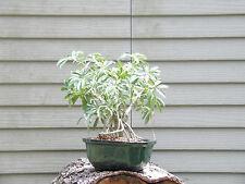 Hawaiian Umbrella Bonsai Tree - Banyan Style #7