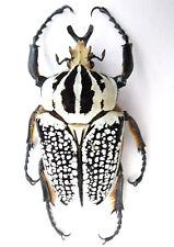 Goliathus orientalis (meleagris) Männchen ex Katanga/ Afrika Länge:92,56mm K8-10