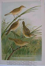 1905 CANNAIOLA Uccelli Naumann 1905 Ornitologia Ornithology Acrocephalus