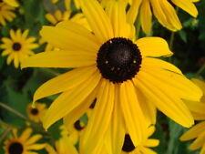 100 Graines de fleurs RudBeckia jaunes Vivace Méthode BIO Marguerite ornementale