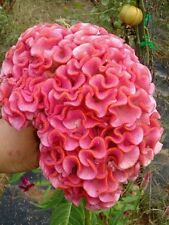 Light Pink Brain Celosia!  25 SEEDS! 2-4 ft tall Comb.S/H! OLD AMISH PLANT!
