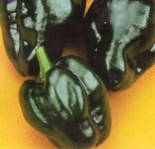 ANCHO POBLANO CHILI PEPPER Capsiccum Annuum 15 Seeds