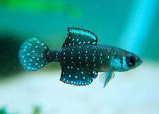 30 EGGS Austrolebias nigripin Killifish TROPICAL FISH HATCHING Registered +Foods