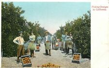 DB Postcard CA G339 Picking Oranges in California Men Agriculture Fruit Orchard