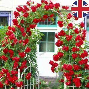 RED CLIMBING BOWER ROSE SEEDS GARDEN PLANT GARDENING 20% OFF WITH MULTIBUY