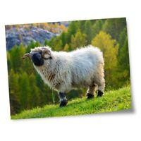 "8x10"" Prints(No frames) - Swiss Alps Valais Blacknose Sheep  #46345"