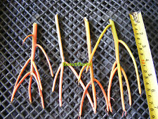 "4 Euphorbia tirucalli ""sticks on Fire"" Sukkulenten Stecklinge"
