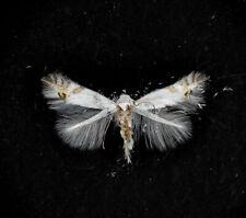 More details for watson antique microscope slide of a british moth. cemoistoma laburnella