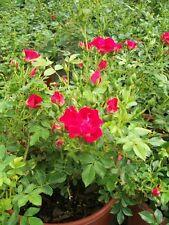 Red Drift Rose 1 Gal. Live Bush Plants Shrubs Plant Groundcover Roses Garden Now