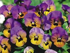 Viola Seeds 25 Penny Marlies Viola Cornuta Seeds