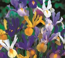 20 Dutch Iris 'Netherlands Blend' Flower Bulbs | Flowers Garden Spring Mix