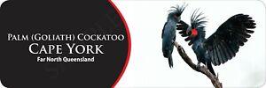 Palm (Goliath) Cockatoo Cape York Bumper Sticker