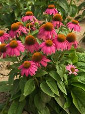 1 Echinacea purpurea 'PowWow Wild Berry ,