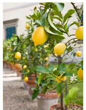 Live Meyer Lemon Tree 1- 2FtFtFruits 1st Yr Patio Garden Indoors Planters Potted