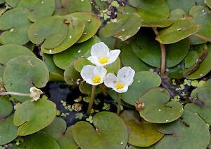 1 - 25 / Oxygenating Pond Water Plants - Frogbit - Floating Pond Plants  - Po...