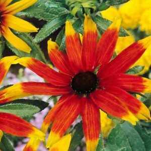 5 X HEALTY LARGE RUDBECKIA TRILOBA PRAIRE GLOW PLUG PLANTS