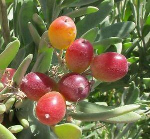 Nitre Bush, Native Grape Evergreen Shrub Seed Drought Frost Tolerant Bush Tucker