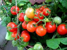 Tropischer Tomatenbaum Tamarillo  ☼  SAMEN Deko ☼  unglaublich viele Früchte ..