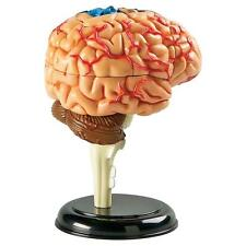 Human BRAIN 3D Model 4D Puzzle Anatomy science Biology Medical Teacher NEW