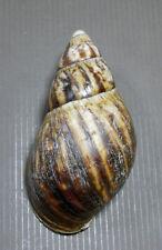 Formosa/shells/Archachatina marginata 125mm.nature lip.