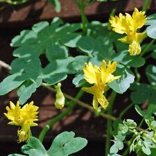 Nasturtium Seeds 50 Canary Bird Vine Seeds Canary Creeper