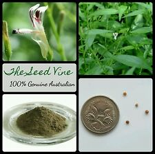 10+ KING OF BITTERS SEEDS (Andrographis paniculata) Medicinal Ayuverda Herb