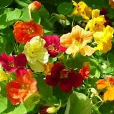 JEWEL MIXED Nasturtium colourful edible plants - 6 cell seedling punnet