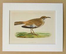 Abubilla Lark-Charles Bree 1860s Antique montado a mano color pájaro grabado