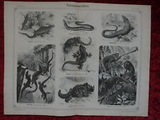 1875 Chameleon Thorny Devil Wall Lizard Moorish Gecko Antique Folio Print Brehm