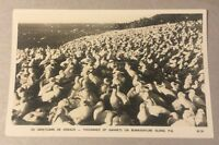 Thousands of Gannets BONAVENTURE ISLAND PQ/QC early photo postcard - Oiseaux