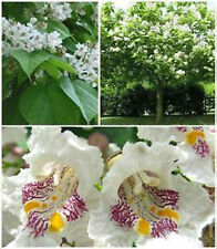 Northern Catalpa    Tree   *  7 SEEDS!