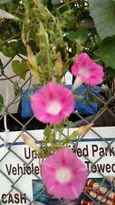 Urban Junkyard Pink Morning Glories SEEDS Blooming in Afternoon!