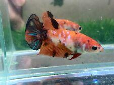 New listing [Ngf - 0991] Live Betta Fish Nemo Galaxy Tiger Female