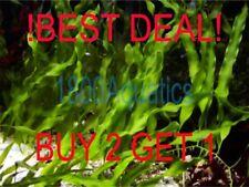 LIVE Caulerpa Prolifera*RARE MARINE MACRO ALGAE*4PCS w/ROOTS*BEST DEAL*FREE SHP*