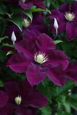 25 Dark Purple Clematis Seeds Large Bloom Climbing Perennial Flower Garden