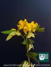 CASSIA CORYMBOSA alveolo Flowery Senna