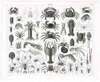 ORIGINAL ANTIQUE PRINT VINTAGE 1851 ENGRAVING MARINE LIFE LOBSTER CRAB SHRIMP