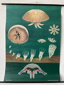 Original Vintage Jellyfish School Chart - Jung Koch Quentell Marine Life Poster