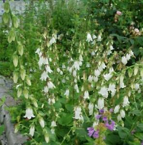 Campanula ochroleuca - 3 x Perennial Bellflower Plant in 9cm pot