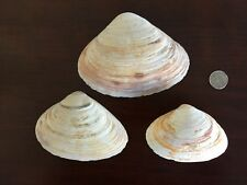 Lot of Three - Atlantic Surf Clam Shells For Crafts Display - natural colors