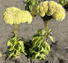Giant YELLOW Crested Cockscomb Celosia 30 seeds Rare Huge Flowers in one season