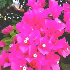 Bougainvillea Vera Pink,plant rooty cutting