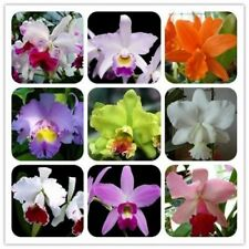 30Pcs Orchids Cattleya Flower Seeds Rare 8 Kind Biennial Plant For For Garden