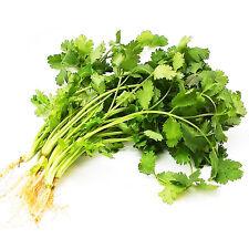 150 Coriander Seeds Coriandrum Sativum Caraway Organic Vegetables